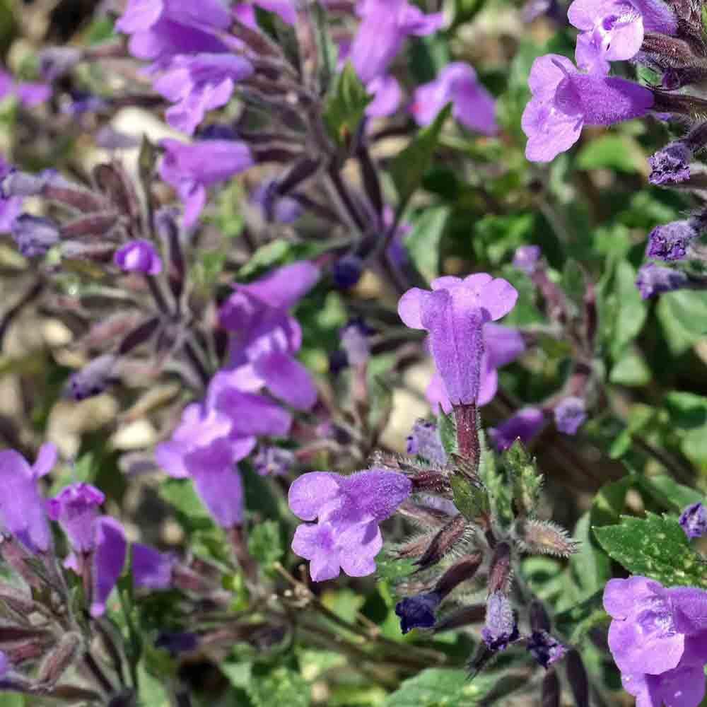 Rock Thyme flowers and leaves  - (Acinos alpinus)