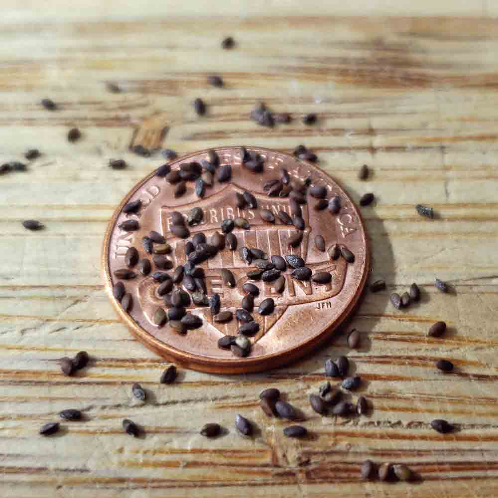 Rock Thyme Heirloom Seeds  - (Acinos alpinus)