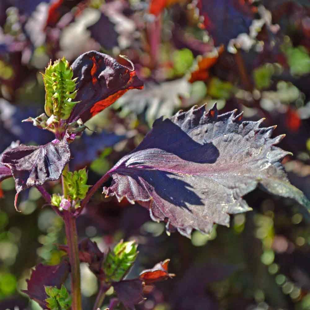 Red Shiso/Perilla leaves and flower buds - (Perilla frutescens var. crispa)