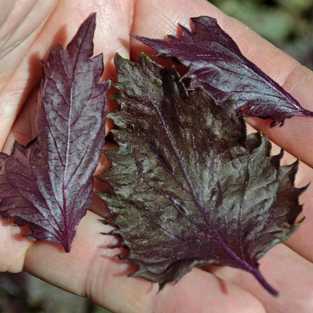 Red Shiso/Perilla leaves - (Perilla frutescens var. crispa)