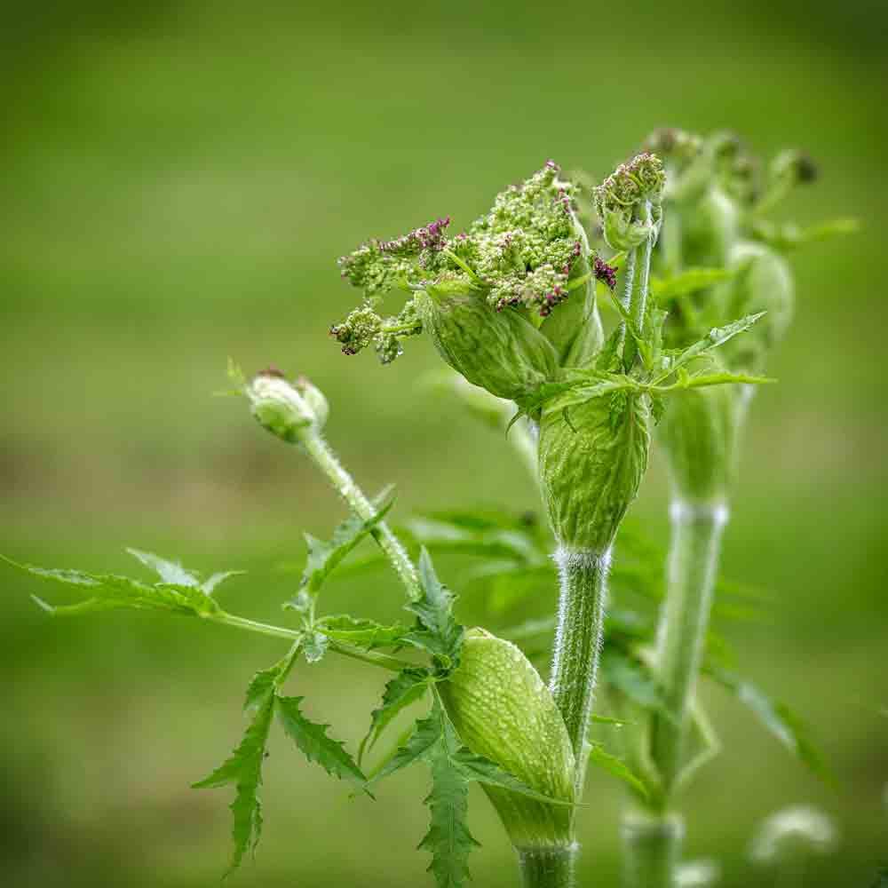 Salad Burnet Seeds - (Sanguisorba minor)