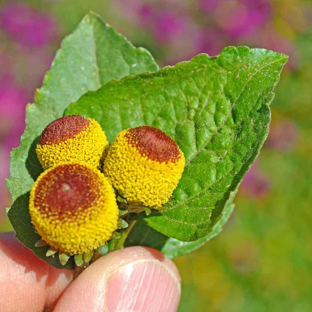 Toothache Plant / Szechuan Buttons / Electric Daisy - (Spilanthes oleracea)
