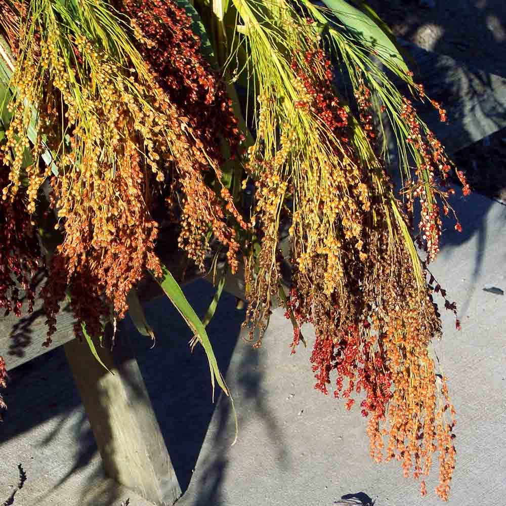 Harvested Broom Corn  - (Sorghum vulgare)