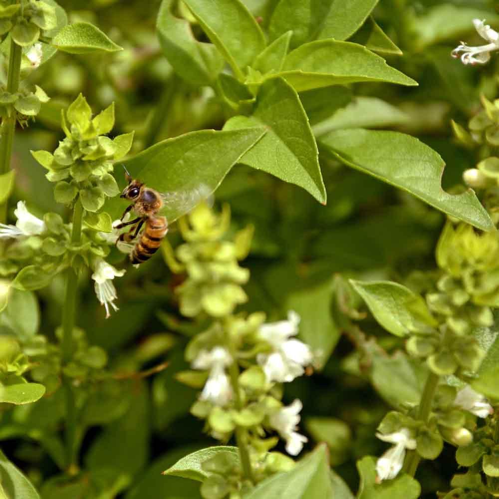 Basil Mix flowers with bee  - (Ocimum basilicum)