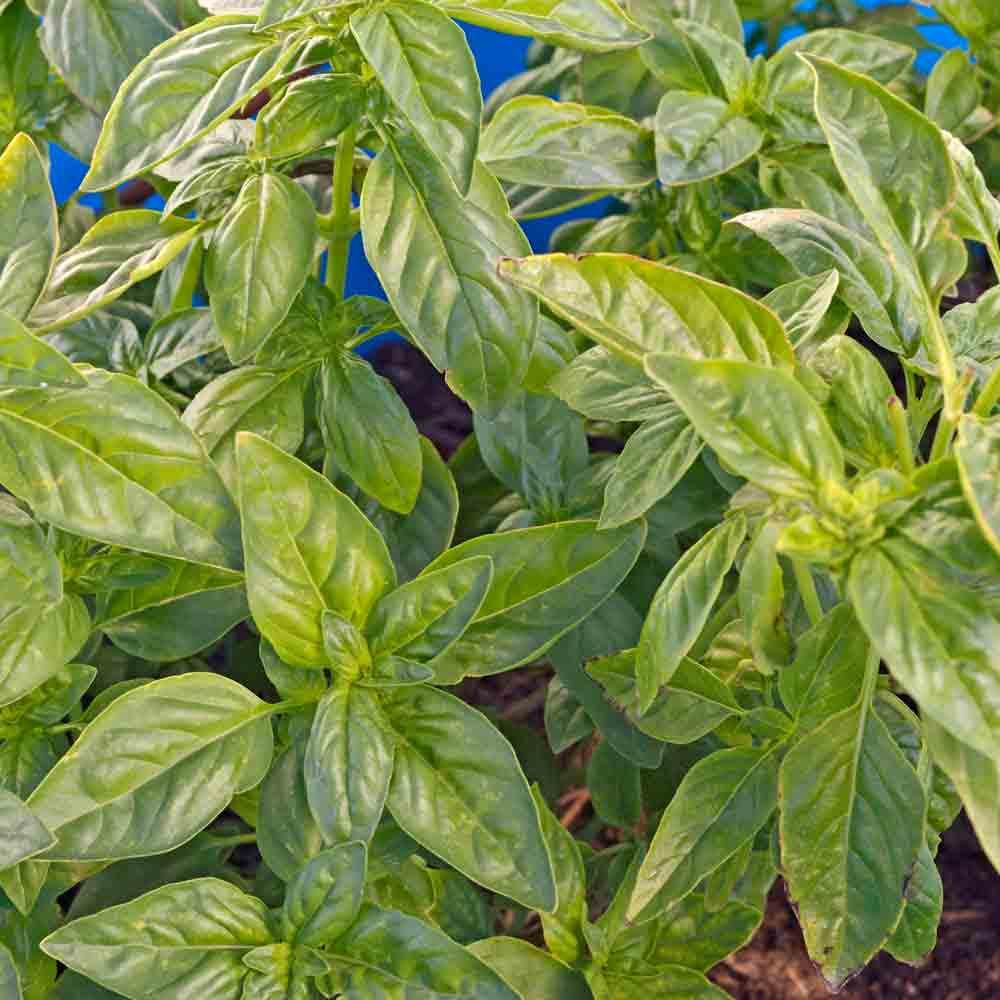 Genovese Basil leaves - (Ocimum basilicum)
