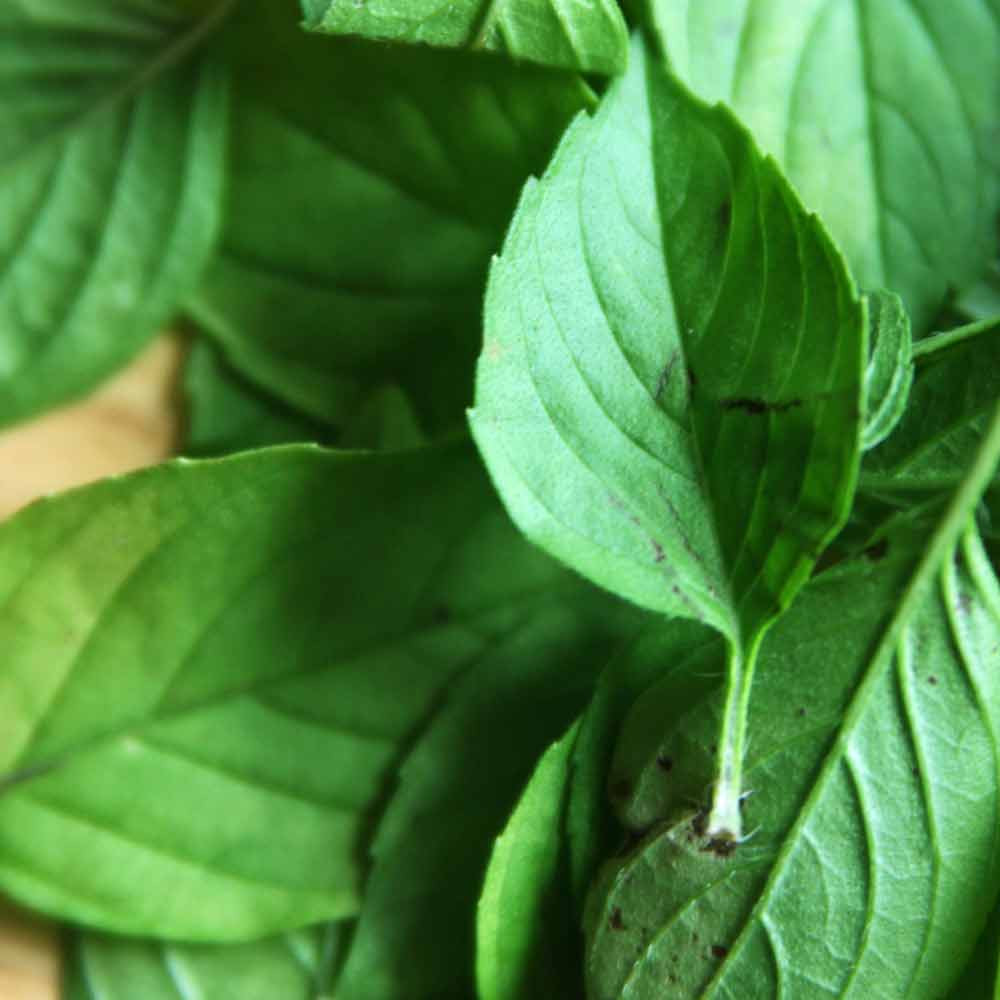Lemon Basil leaves - (Ocimum basilicum var. citriodorum)