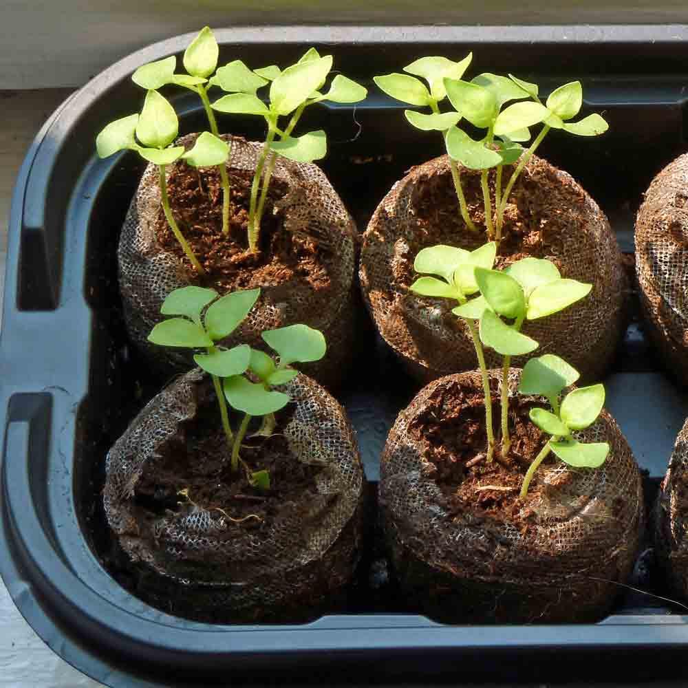 Lemon Basil Seedlings - (Ocimum basilicum var. citriodorum)