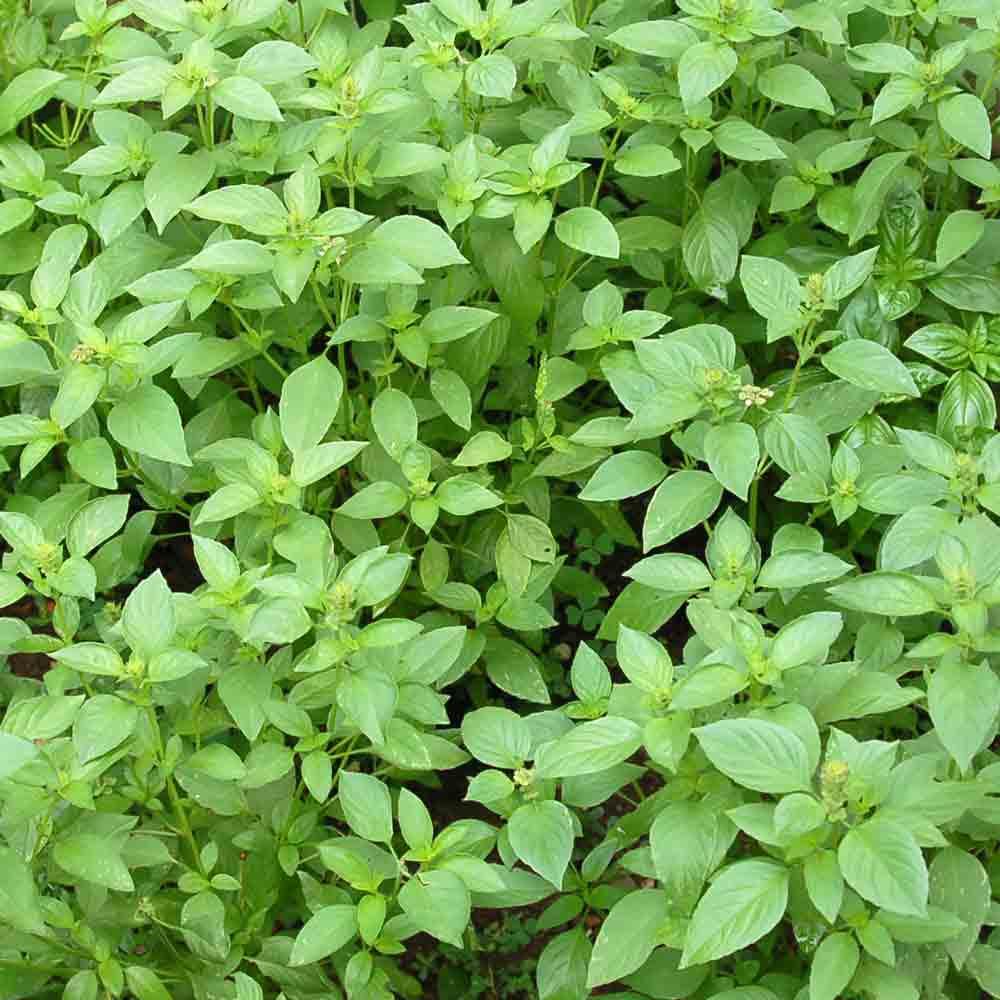 Lemon Basil plant - (Ocimum basilicum var. citriodorum)