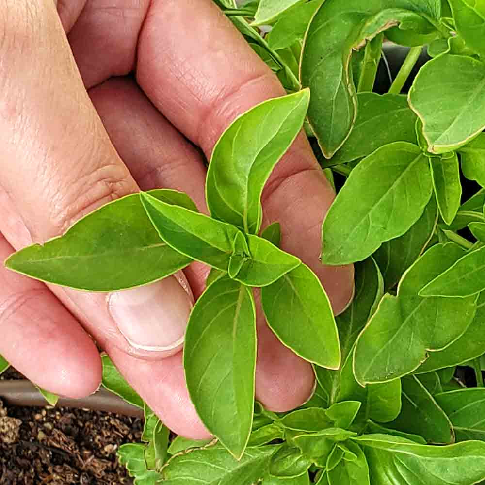 Marseilles Basil leaves - (Ocimum basilicum)