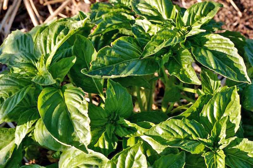 Napoletano Bolloso Basil Plant - (Ocimum basilicum)