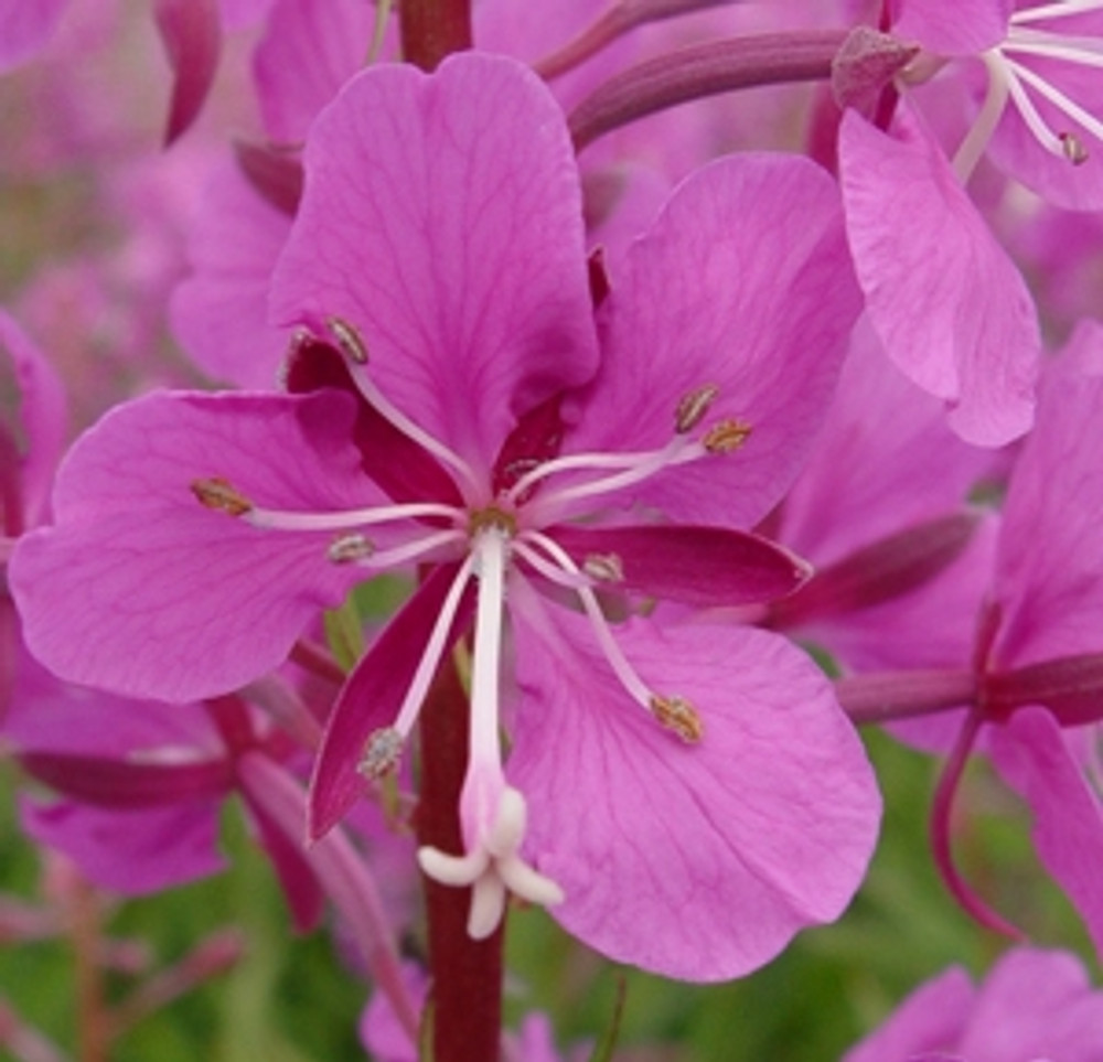 Fireweed - (Epilobium angustifolium)