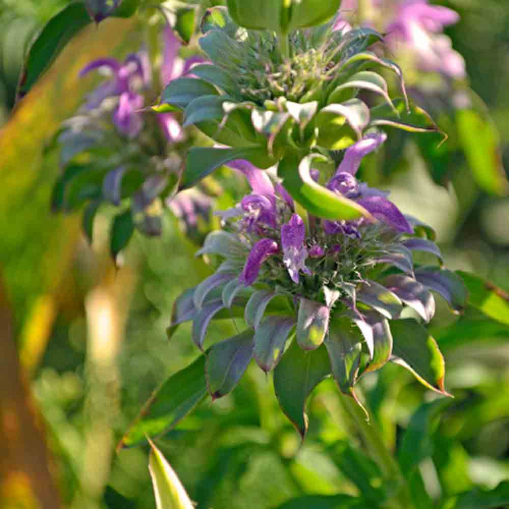 Lemon Bee Balm flowers - (Monarda citriodora)