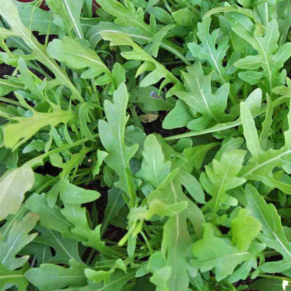 Fresh Picked Rocket Arugula/Roquette leaves - (Eruca sativa)