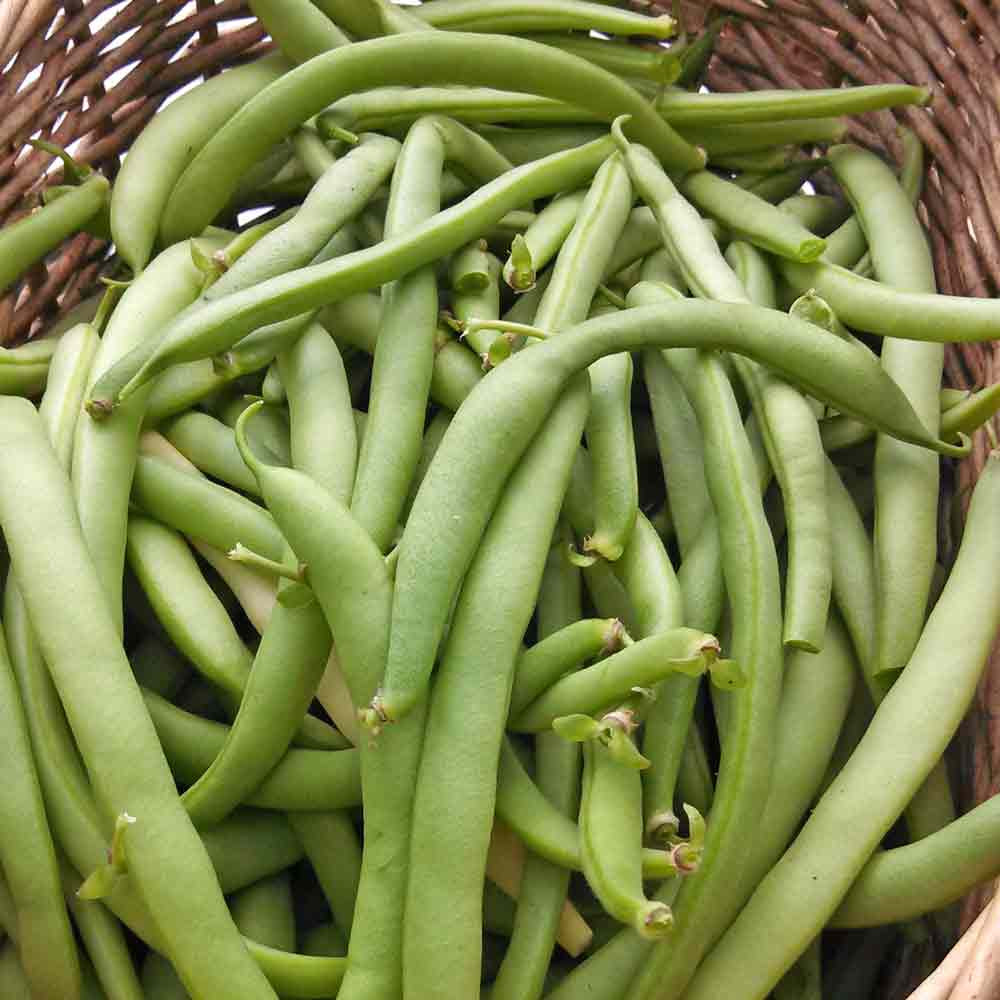 Black Valentine Bush Bean - (Phaseolus vulgaris)