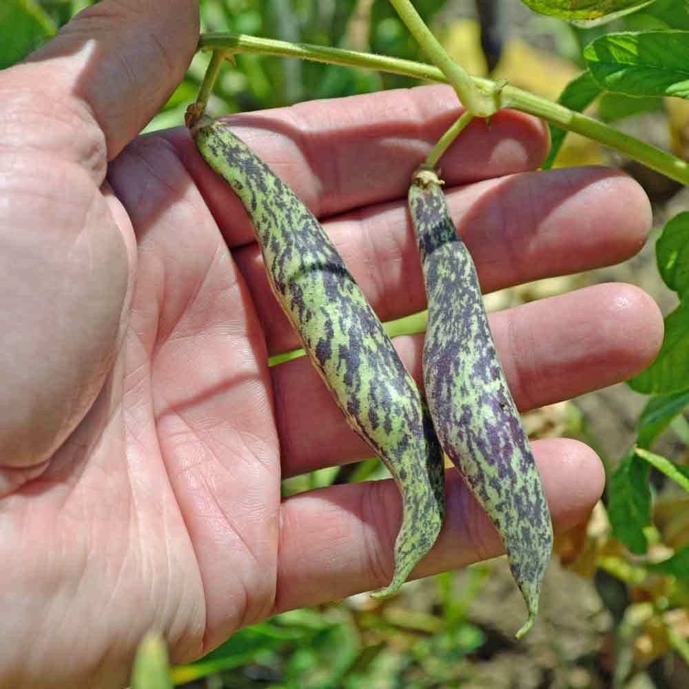 Blue Ribbon Bush Bean - (Phaseolus vulgaris)