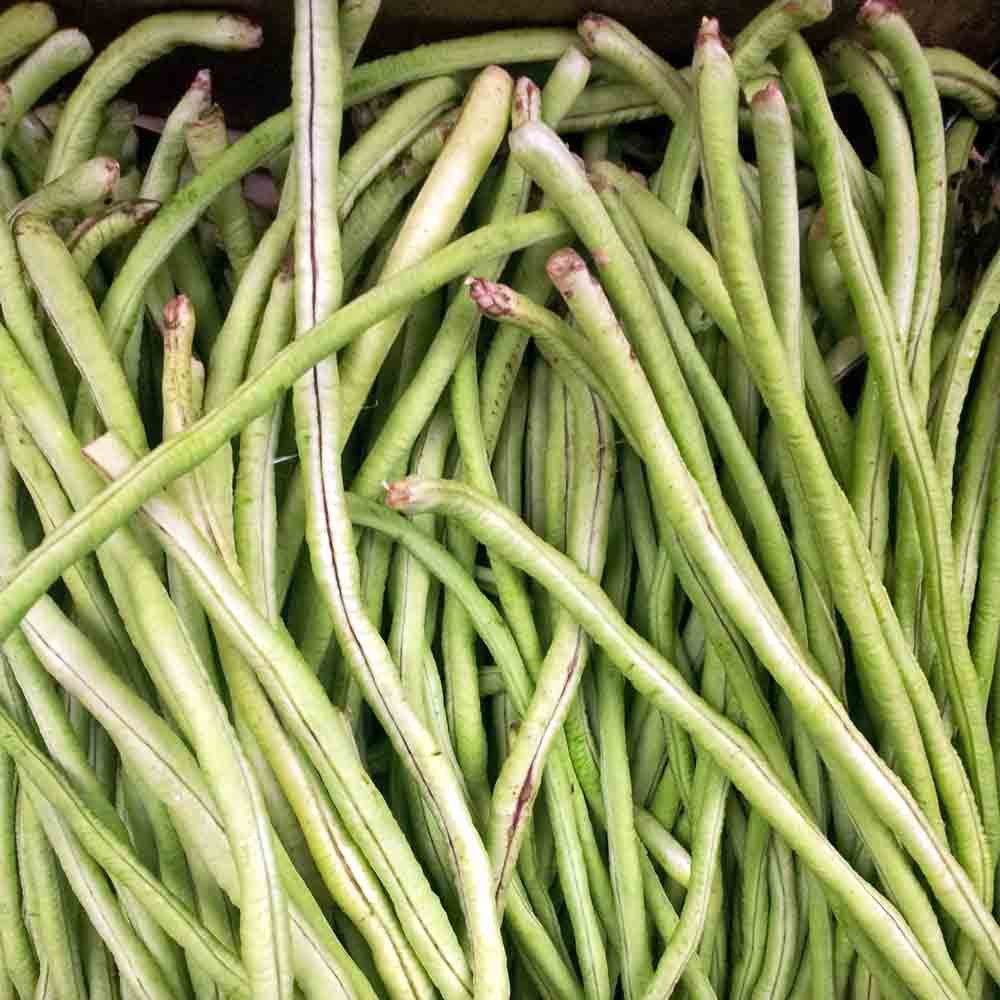 French White Garden Bush Bean - (Phaseolus vulgaris)