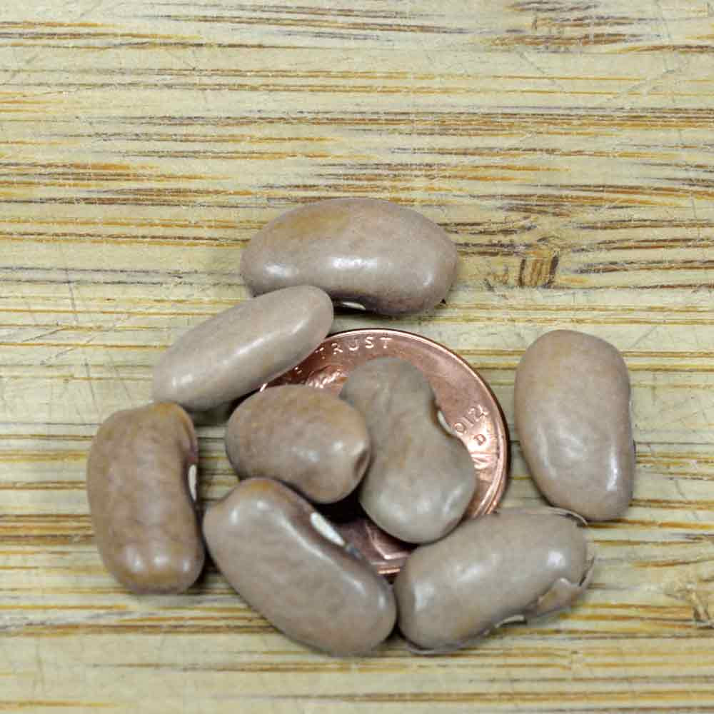 Kentucky Wonder Bean (Brown) - (Phaseolus vulgaris)