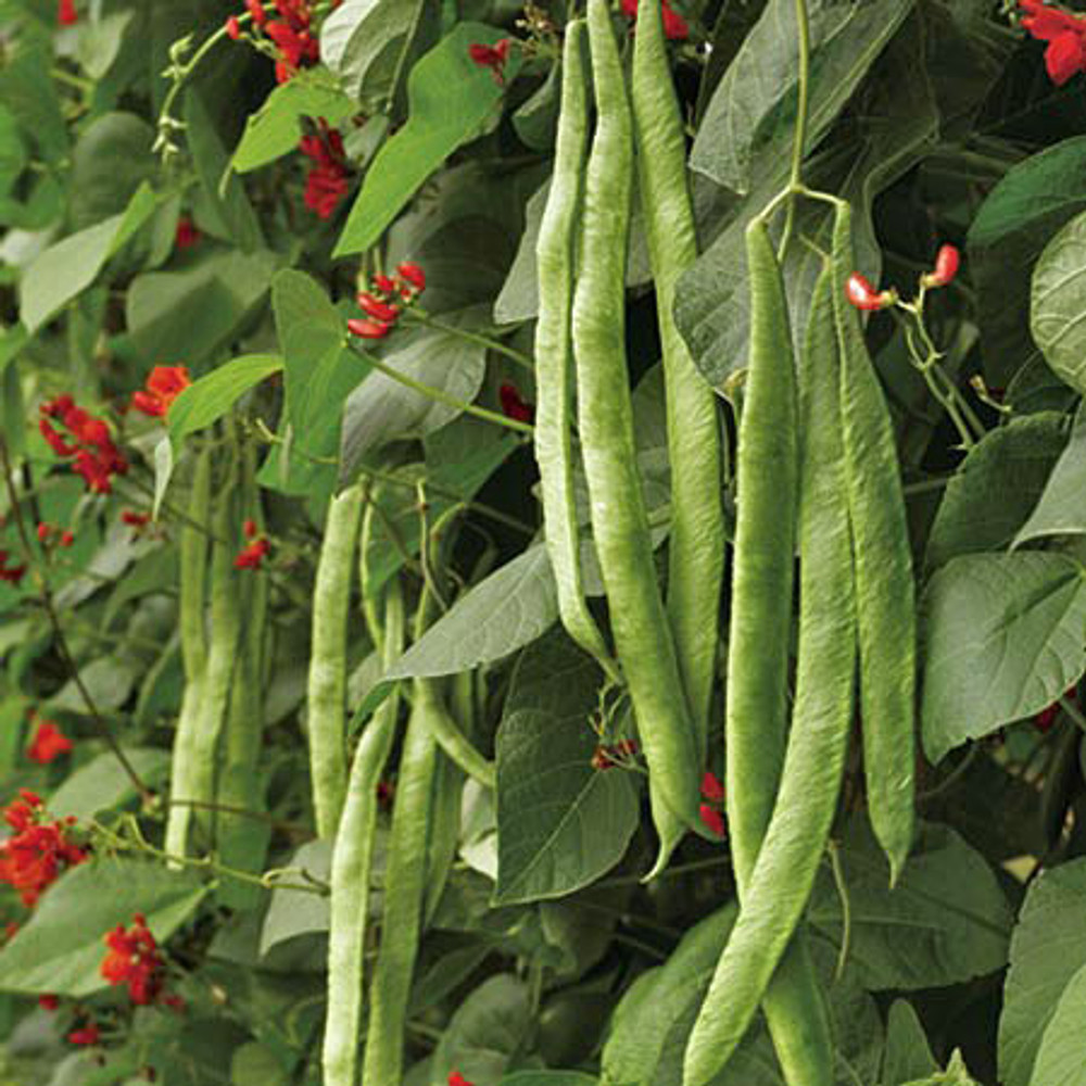 Scarlet Emperor Bean - (Phaseolus coccineus)