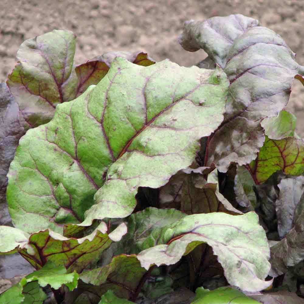 Bull's Blood Beet leaves - (Beta vulgaris)