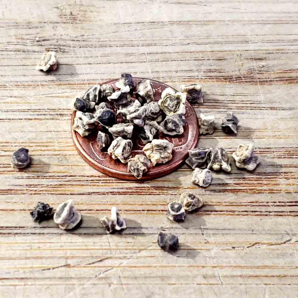 Bull's Blood Heirloom Beet Seeds - (Beta vulgaris)