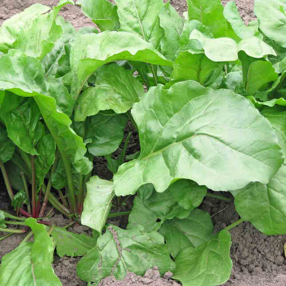 Chioggia/Candystripe Beet - (Beta vulgaris)