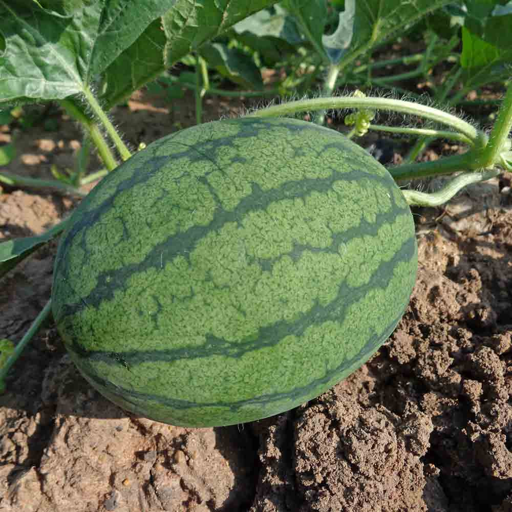 Katanya Watermelon - (Citrullus lanatus) (V1191)