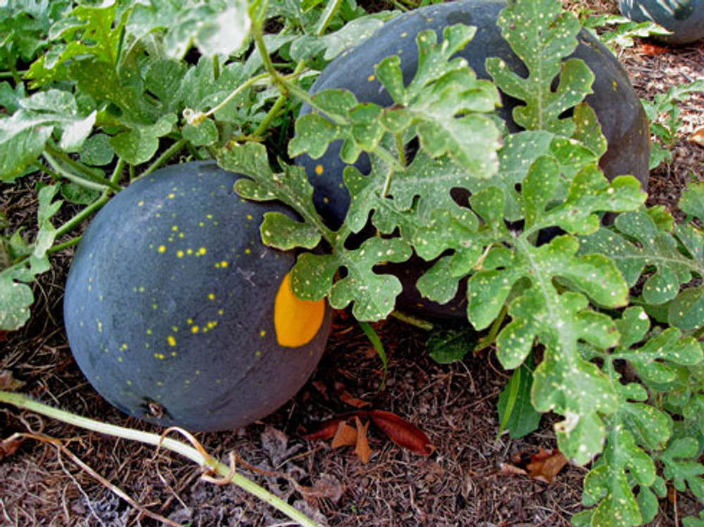 Moon and Stars Watermelon - (Citrullus lanatus)