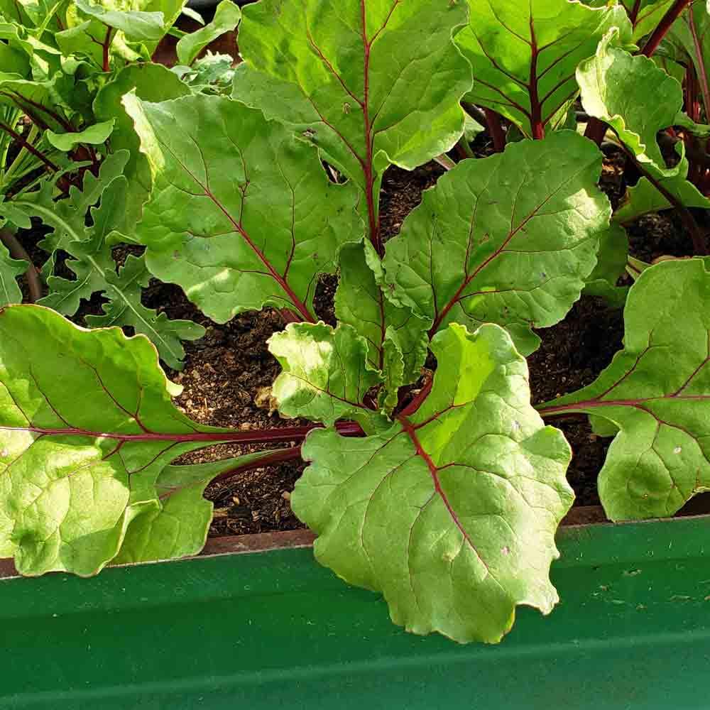 Ruby Queen Beet leaves - (Beta vulgaris)