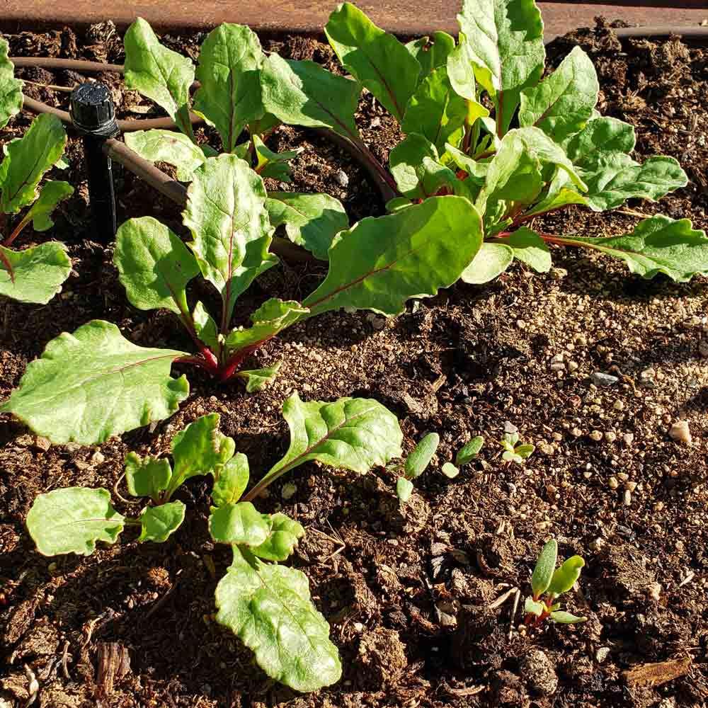 Ruby Queen Beet seedlings - (Beta vulgaris)