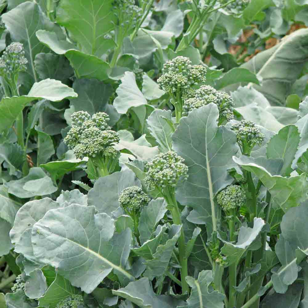 Raab/ Rapini Broccoli - (Brassica rapa)