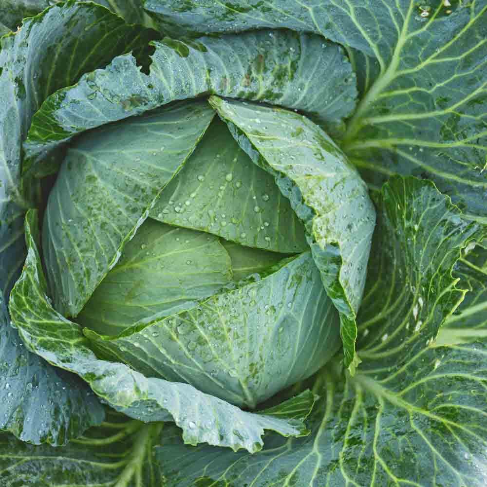 Early Jersey Wakefield Cabbage Seeds - (Brassica oleracea)
