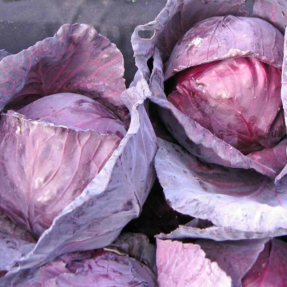 Red Acre Cabbage - (Brassica oleracea)