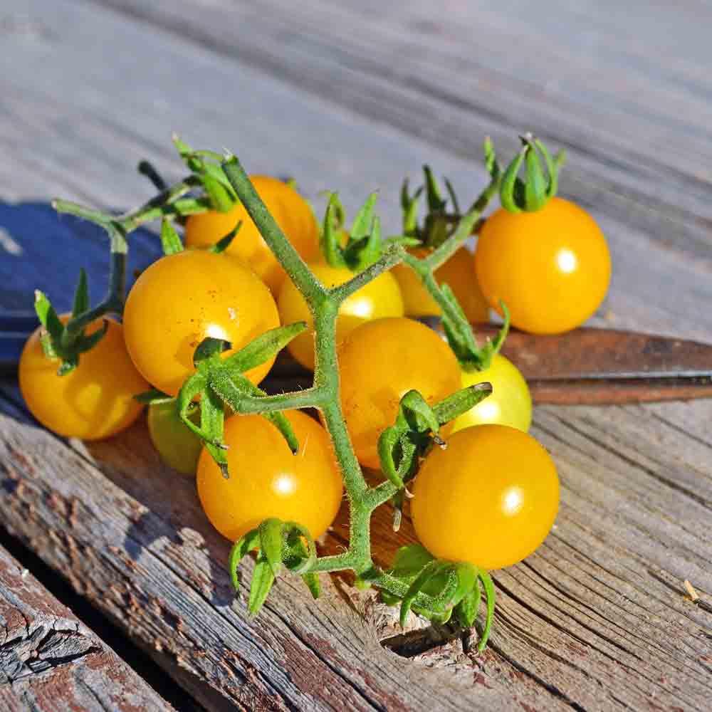 Wild Galapagos Tomato - (Solanum cheesmaniae)