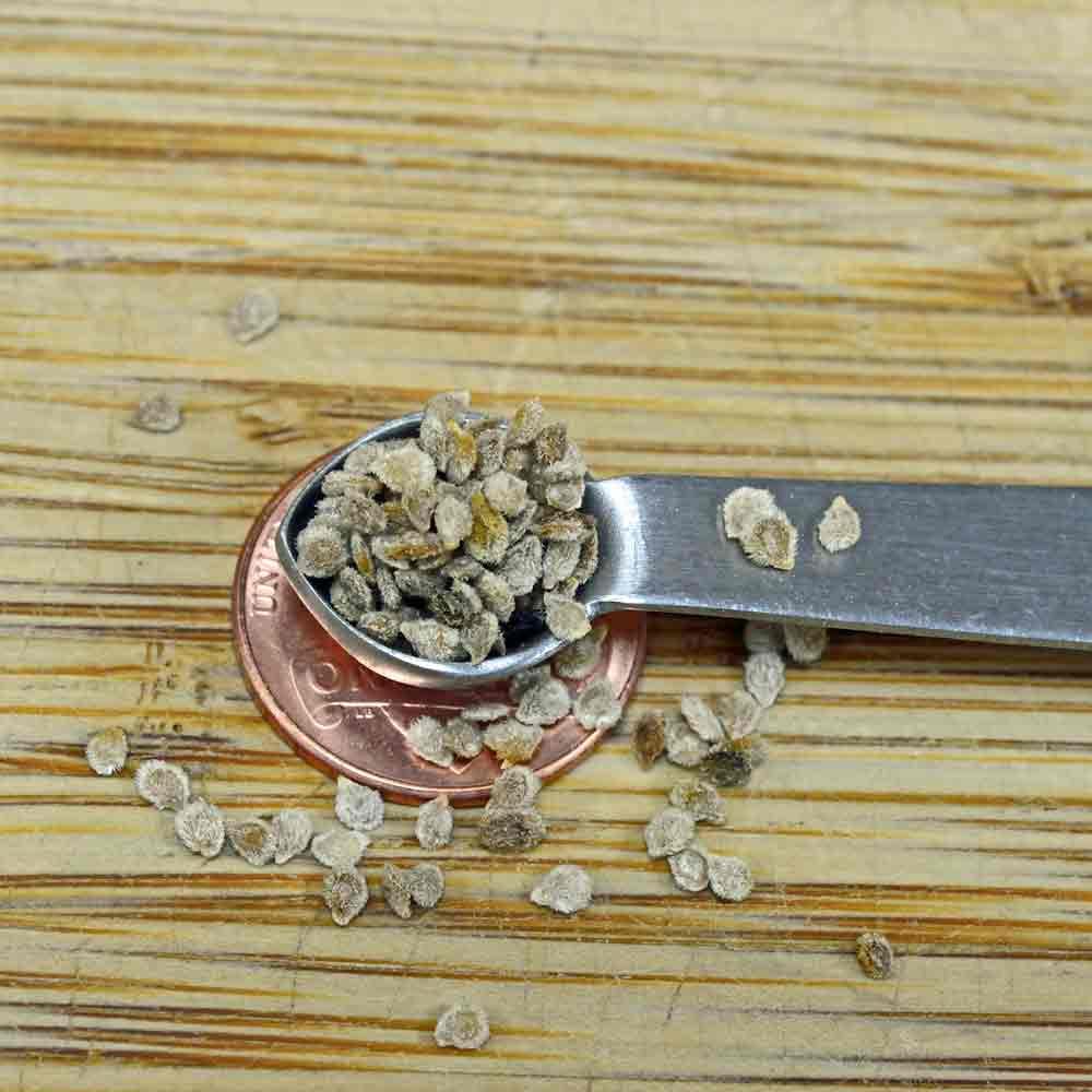 Wild Galapagos Tomato Seeds - (Solanum cheesmaniae)
