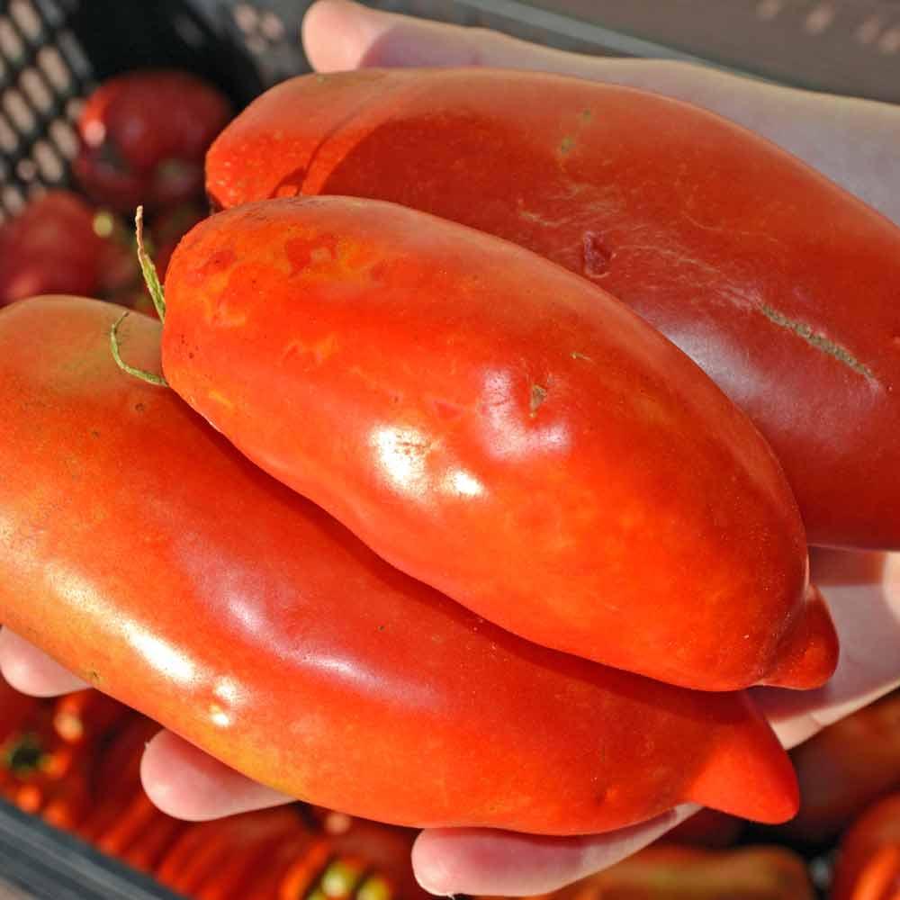 San Marzano Redorta Tomato Seeds -(Lycopersicon lycopersicum)