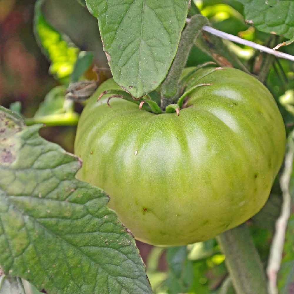 Aunt Ruby's German Green Tomato - (Lycopersicon lycopersicum)