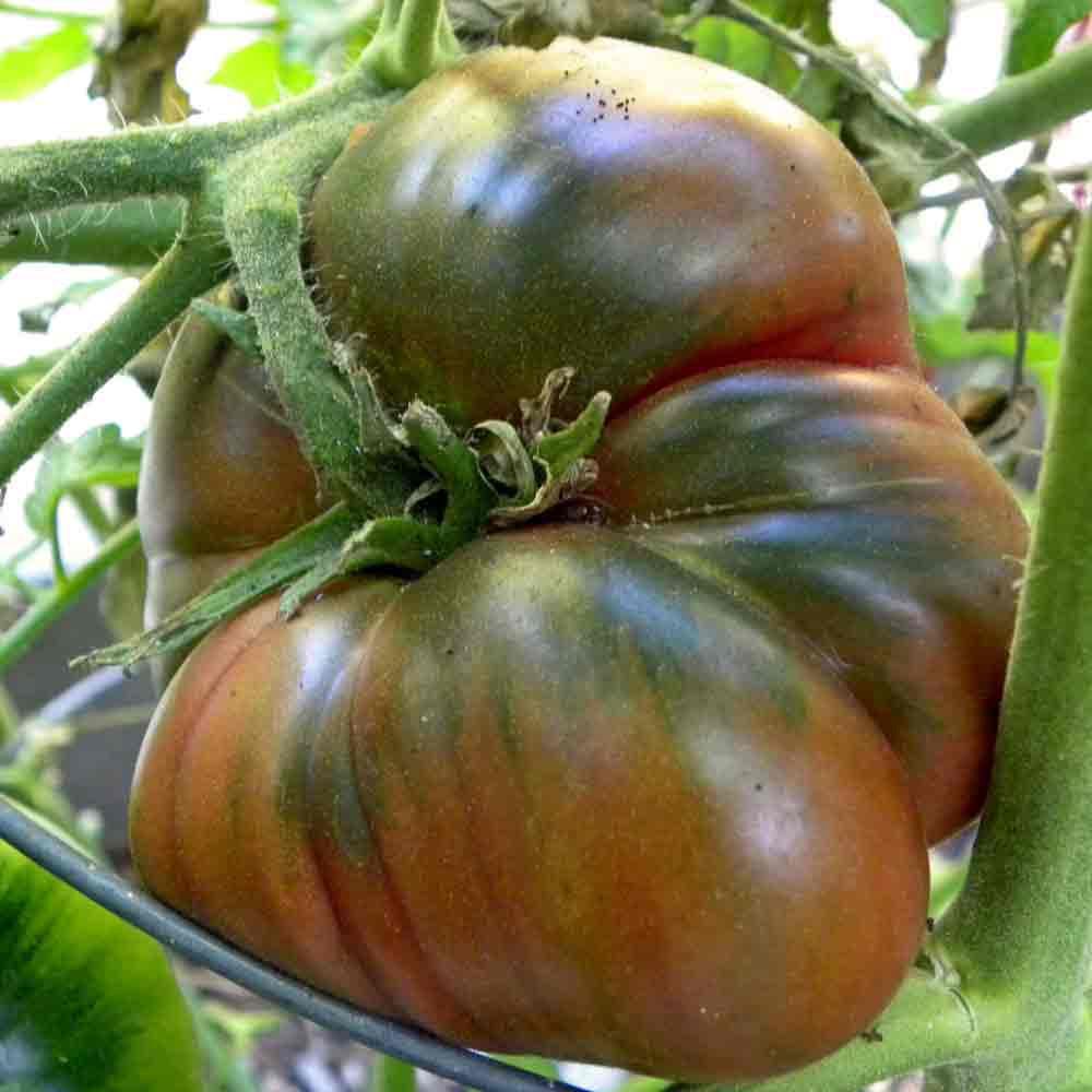 Black Krim Tomato ripening - (Lycopersicon lycopersicum)