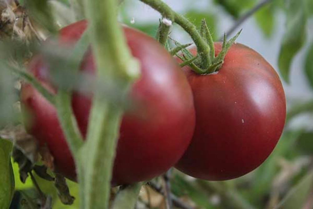 Cherokee Purple Tomato - (Lycopersicon lycopersicum)