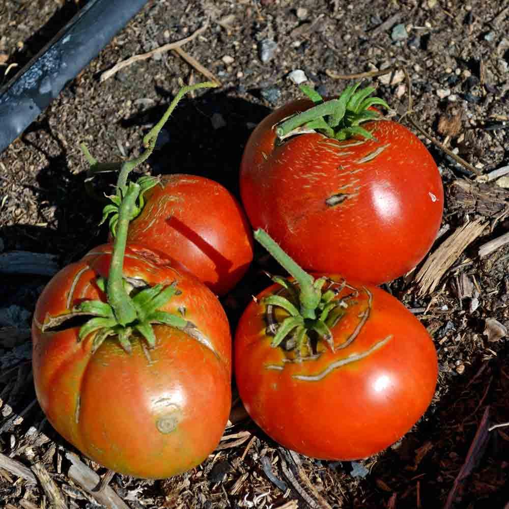 Cosmonaut Volkov Tomato fruit - (Lycopersicon lycopersicum)