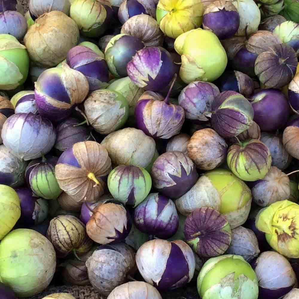 Ripe Purple Tomatillo fruit - (Physalis ixocarpa)