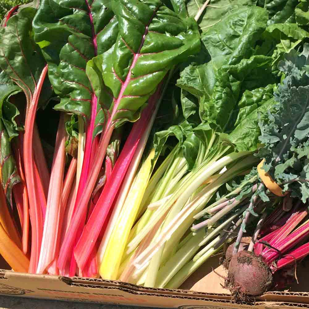 Fresh picked Rainbow Swiss Chard leaves - (Beta vulgaris ssp. cicla)