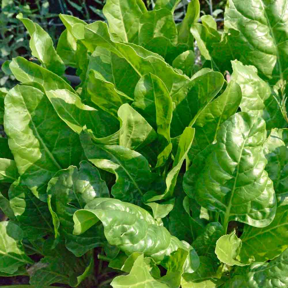Spinach-Beet Greens/Bietina/Bieta leaves - (Beta vulgaris spp.)