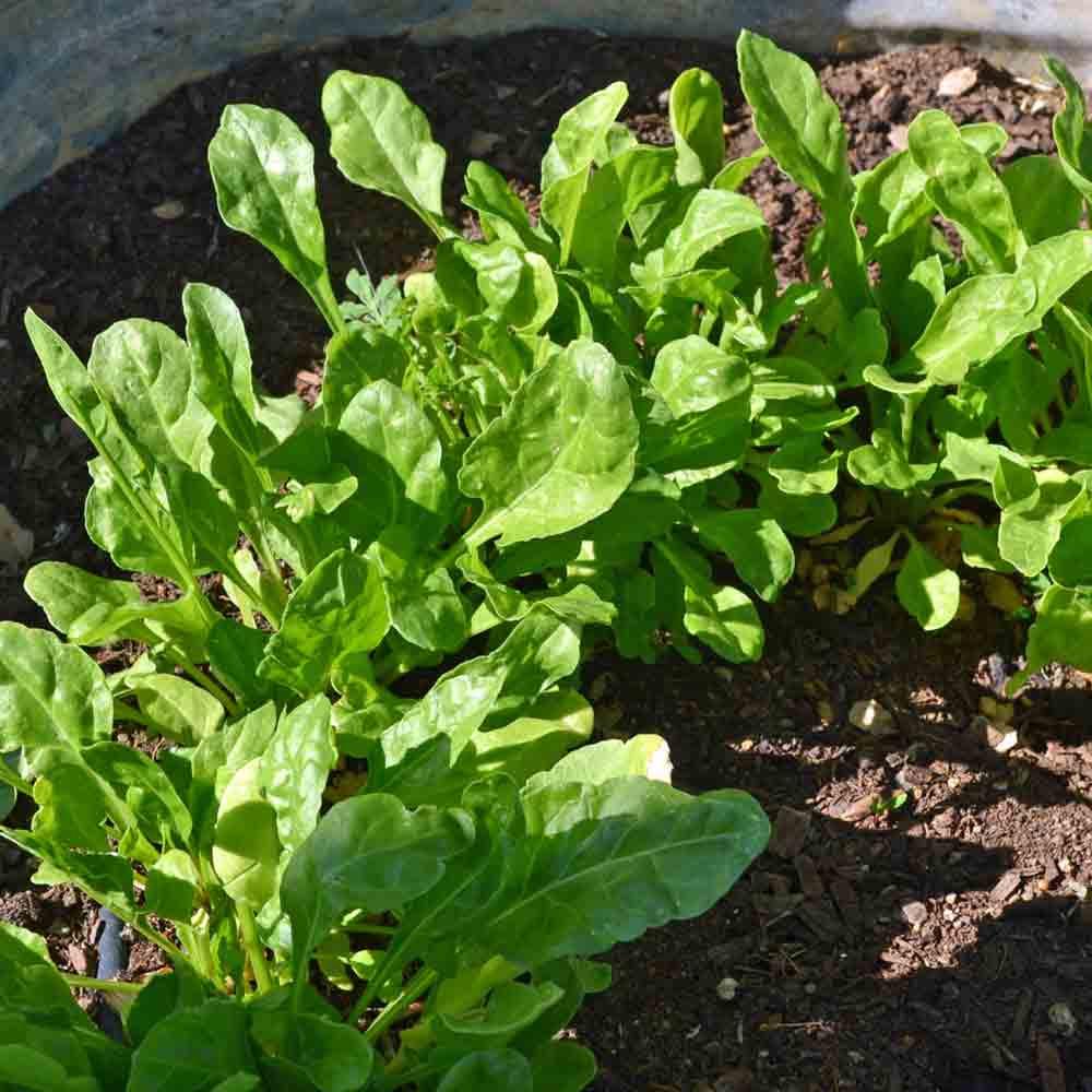 Young Spinach-Beet Greens/Bietina/Bieta leaves - (Beta vulgaris spp.)