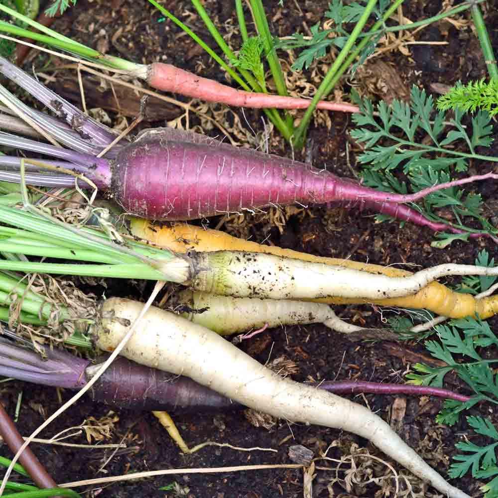 Homegrown Kaleidoscope Baby Carrots - (Daucus carota var. sativus)