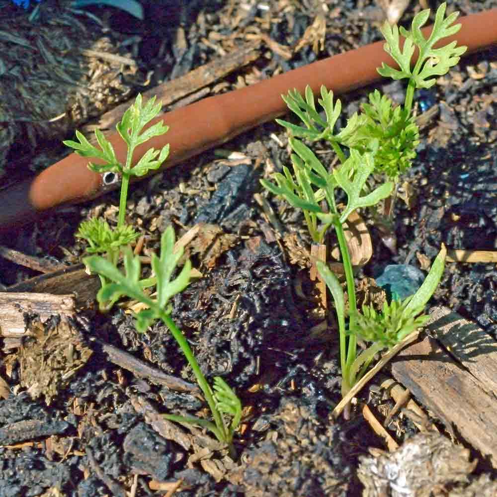 Kaleidoscope Baby Carrot seedlings - (Daucus carota var. sativus)