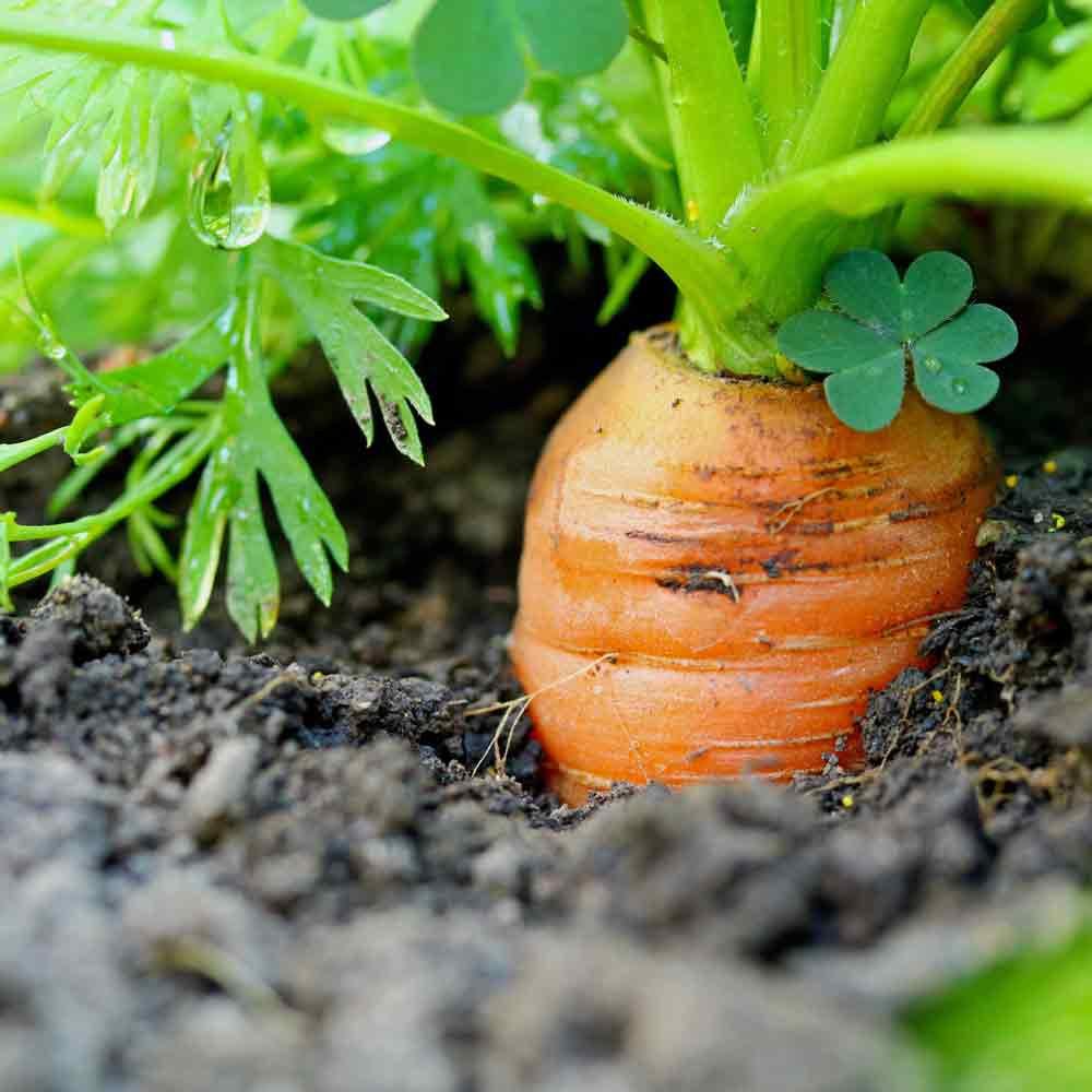 Little Finger Carrot  - (Daucus carota var. sativus)