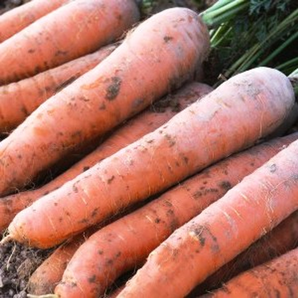 Nantes Scarlet Carrot - (Daucus carota var. sativus)