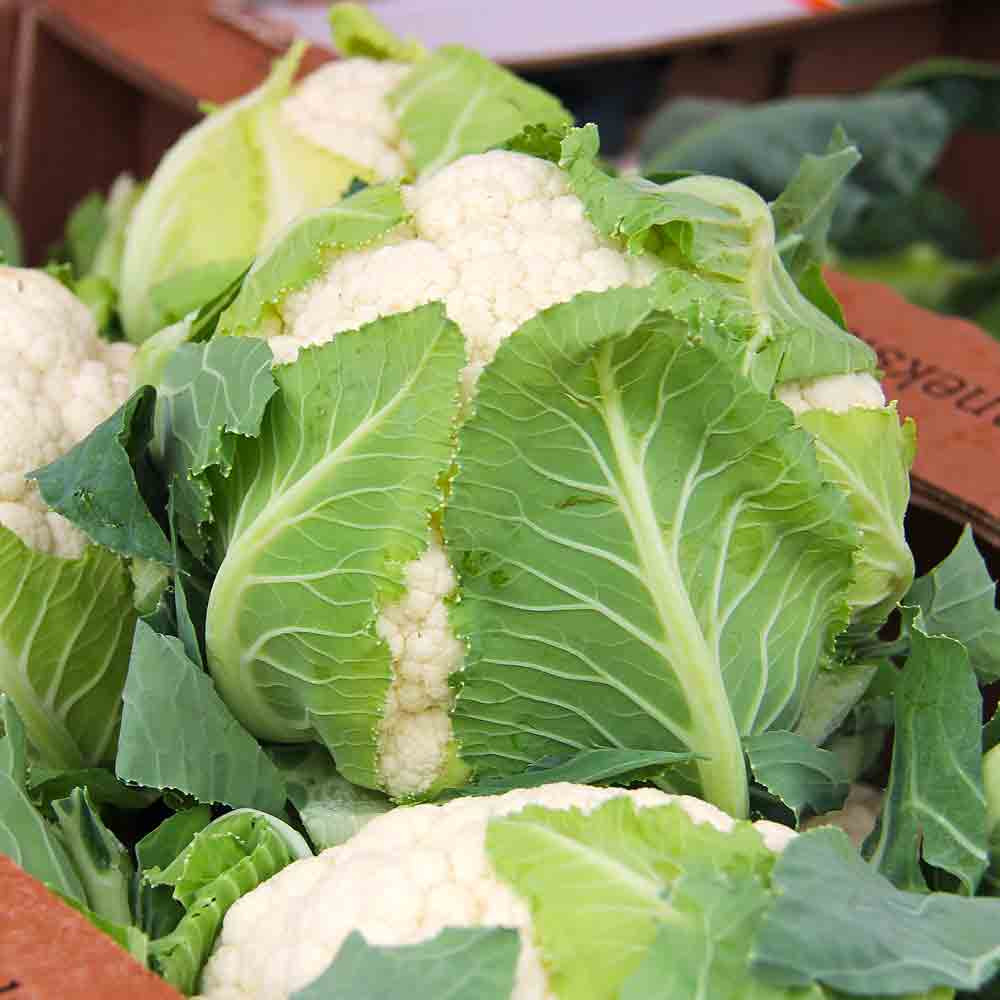 Snowball Y Improved Cauliflower - (Brassica oleracea)
