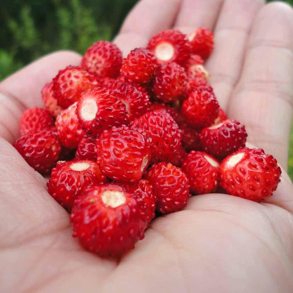 Ruegen Alpine Strawberries - (Fragaria vesca)