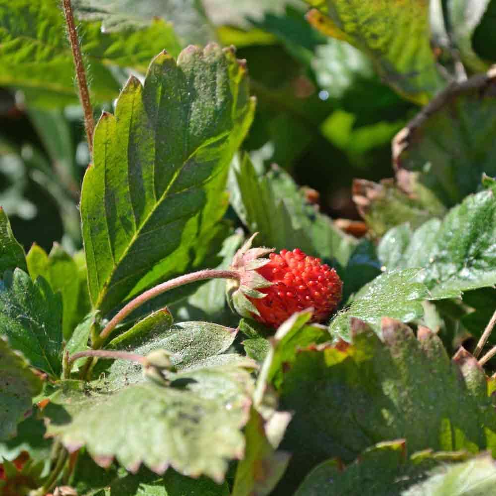 Ruegen Alpine Strawberry plant and fruit - (Fragaria vesca)